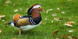 Mandarin duck, Bicton