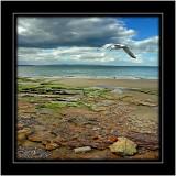Gull and beach, Nairn