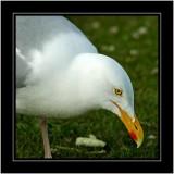 Seagull, Nairn