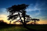 Lebanese cedar silhouette, Martock