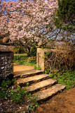 Steps and magnolia, Wayford Manor