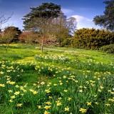 Swathe of daffodils, Wayford (1707)