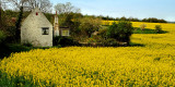 Cottage and canola field, near Rode