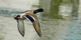 Mallard in flight, Bradford on Avon