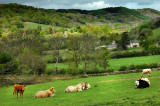 Cows and farm, near Bovey Tracey