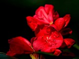 Deep red rhododendron