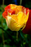 Frilly tulip, Lustleigh