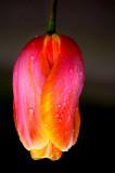 Exquisite tulip, Babbacombe