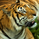Bengal Tiger, Selwo