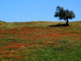 Olive tree and poppies, Ronda