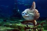 Ocean sunfish, Barcelona (3043)