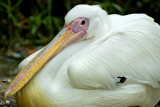 Pelican, Selwo