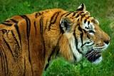 Tiger, tiger!