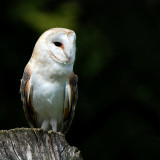 Barn owl on a post