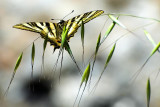 Swallowtail butterfly, Casares