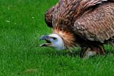 Vulture snarling!
