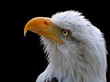 Bald eagle stare (2512)