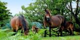 Ponies, Exmoor