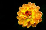 Orange and yellow dahlia, Gants Mill