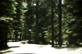 La forêt de cèdre