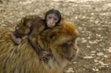 Les singes de l'Atlas