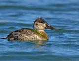 _JFF2536 Ruddy Duck With Lunch.jpg