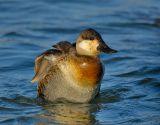 _JFF2645 Ruddy Duck Fluffing.jpg