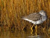 _JFF2428 Yellow Legs at reeds.jpg