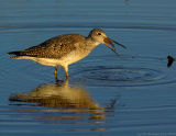 _JFF0121 Greater Yellow Legs Swalowing Banded Sunfish.jpg