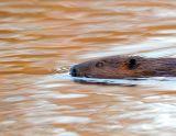 _JFF1207 Beaver SL.jpg