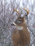 _JFF3714 Deer Profile Look Left.jpg