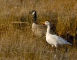 _JFF4479 Snow Goose and Canadian Goose in Fall Marsh