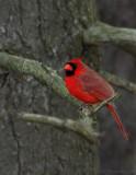 _JFF4803 Red Cardinal Male 12-25-06.jpg