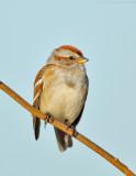 _JFF3829 Sparrow.jpg