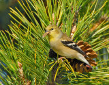 _JFF3842 American Goldfinch Eating Pine Seeds