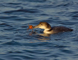 _JFF6008 Loon With Crab.jpg
