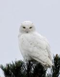 _JFF6227 Snowy Owl PM Looking Down.jpg