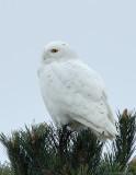 _JFF6229 Snowy Owl PM LL.jpg