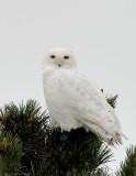 _JFF6571 Snowy Owl in Pines~Plum Island