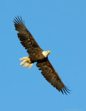 _JFF7141 Bald eagle Young Adult Fly Right.jpg