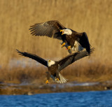 _JFF6868 Eagle Attack at Water.jpg