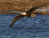 _JFF6876 Eagle Skimming Water~ Newburyport