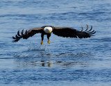 _JAF0084 Bald Eagle At Water.jpg
