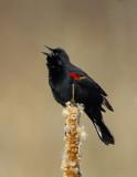 _JFF9546 Red Wing Black Bird  on Cat Tail.jpg