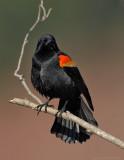 _JFF9631 Red Wing Black Bird