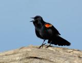 _JFF9647 Red Wing Black Bird  on Log