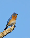 _JFF9575 Blue Bird Male Perched NA.jpg