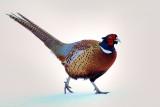 _JFF9917 Pheasant in Snow.jpg
