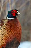 _JFF9984 Pheasant Close LR.jpg
