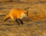 _JF00179 Red Tail Fox Running R.jpg